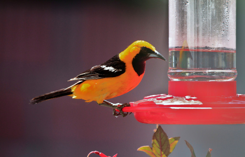 Hooded Oriole  Visiting our back yard
