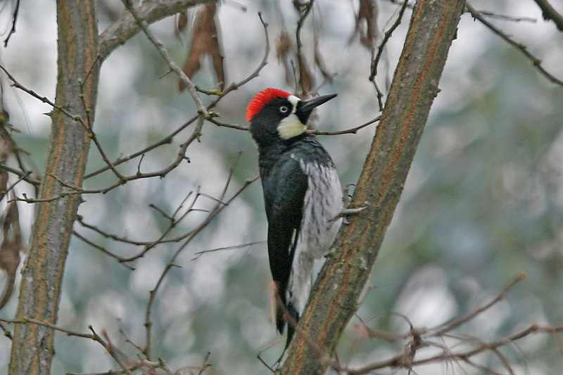 "Acorn WoodPecker, Atascadero California. This picture is also part of the Smithsoiam Migratory Bird Exibit CLICK to See <a href=""http://nationalzoo.si.edu/scbi/migratorybirds/featured_photo/photographer.cfm?photographer=John_Hannan"">http://nationalzoo.si.edu/scbi/migratorybirds/featured_photo/photographer.cfm?photographer=John_Hannan</a>"
