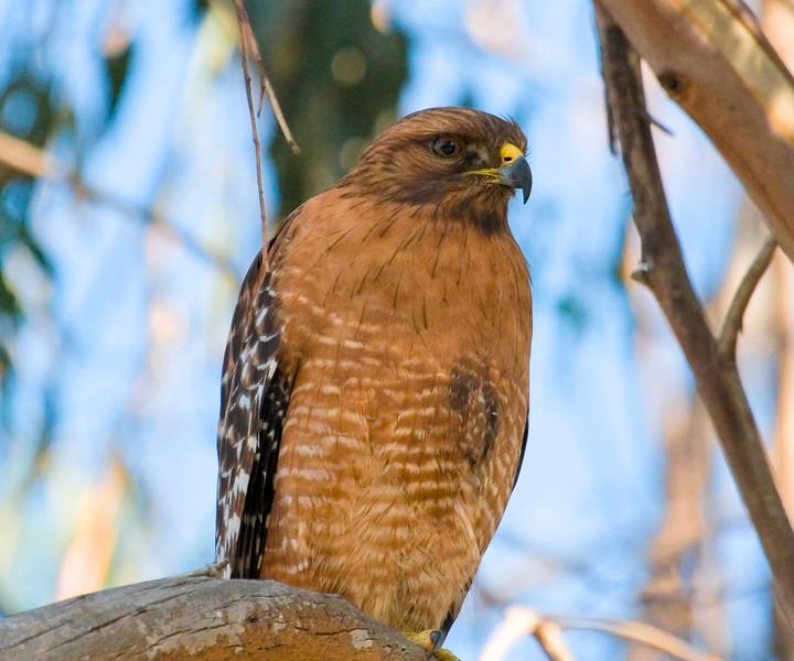 Red-shouldered Hawk - Bolsa Chica, Huntington Beach, CA