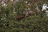 White-faced Ibis, Carr Park, Huntington Beach, CA