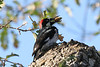 Acorn WoodPecker, Atascadero California