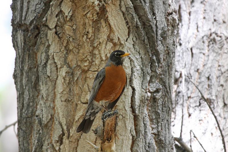 American Robin, Kern Valley, CA