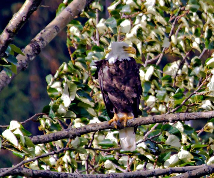 Bald Eagle, Haines, Alaska