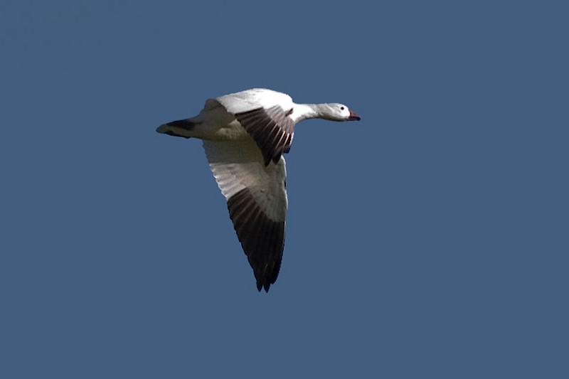 Snow Goose, Salton Sea, CA