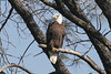 Bald Eagle, Lake Millerton, CA
