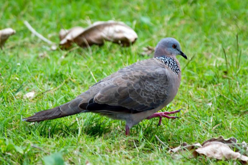 Spotted Dove,  Kauai, HI