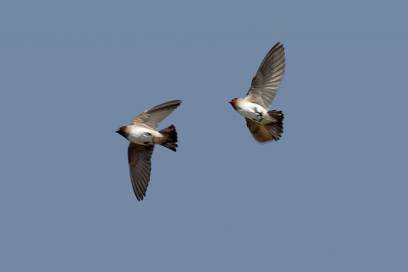 Cliff Swallow, Moss Landing, CA