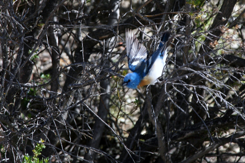 Lazuli Bunting, Carmel Valley, CA