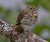 Hermit Thrush, Juneau, Alaska - Notice this just has one leg. A one-legged Hermit Thrush was reported just east of San Diego California, just two weeks latter.