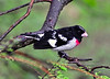 Grosbeak, Rose-breasted. A male in breeding plumage. Bucks Co.,PA. #26.552. Will accommodate 2x3 or 3x4 ratio format.