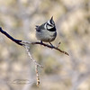 Titmouse, Bridled. Yavapai County, Arizona. #225.316.
