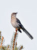 Mockingbird, Northern. Prescott Valley, Arizona. #330.053.