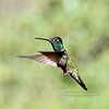 Hummingbird, Magnificent. Santa Rita Mountains Arizona. #522.2480.