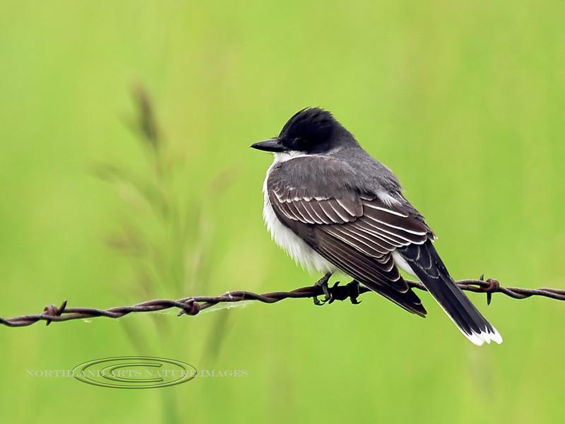 Kingbird, Eastern 2012.6.19#140.6. Fairview Loop Rd., Camas Prairie Idaho.