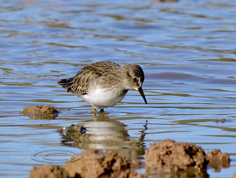 Sandpiper, Least. Maricopa County, Arizona. #127.501.