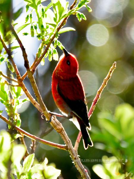 Apapane. An endemic honeycreeper of the high elevation forest. Hakalau Forest, Mauna Kea, Hawaii. #23.1197.