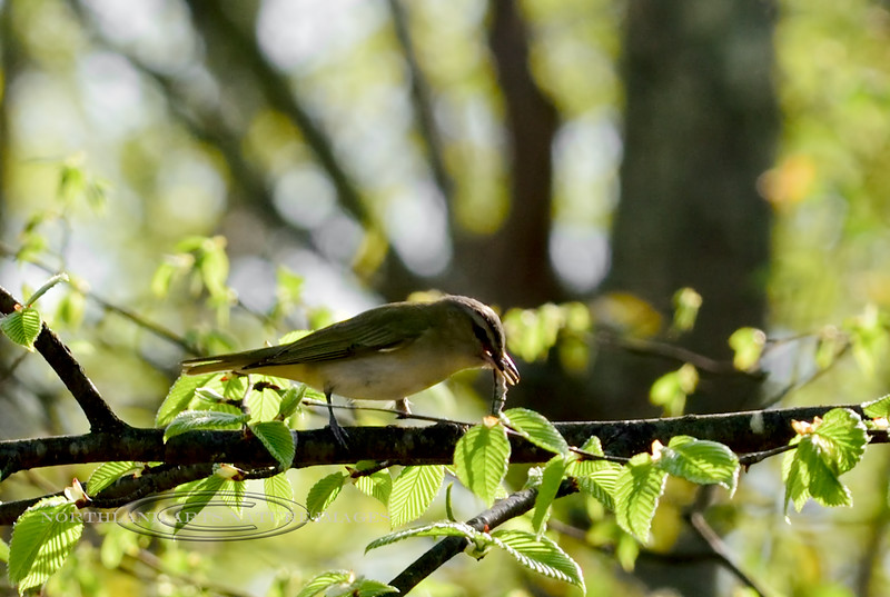 Vireo, Red-eyed. Delaware Forest, Pike County, PA. #512.1193.
