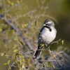 Sparrow, Black-throated. Pinal County, Arizona. #1214.1839.
