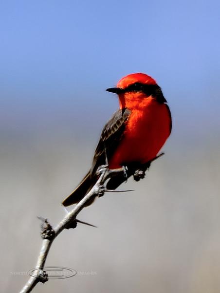 Flycatcher, Vermillion. San Pedro River, Arizona. #321.1114.
