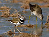 Killdeer 2017.12.13#891. Gilbert, Maricopa County Arizona.