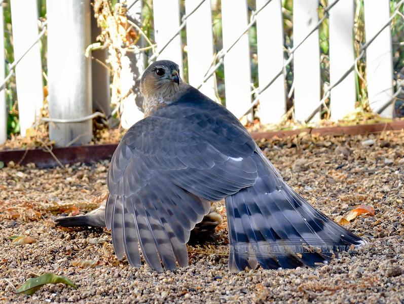 Raptors & allies-Hawk, Cooper's 2018.11.9#002. With fresh caught Gambell's Quail. Prescott Valley Arizona.
