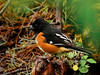 Towhee, Eastern. Peace Valley, Bucks County, Pennsylvania. #423.241. 3x4 ratio format.
