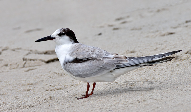 Tern, Common 2020.9.17#3925.2. 2nd Ave. Jetty area, Cape May, New Jersey.