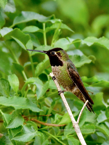 Hummingbird, Anna's. Patagonia, Arizona. #322.1727.