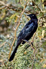 Grackle, Great-tailed. Maricopa County, Arizona. #127.1068.