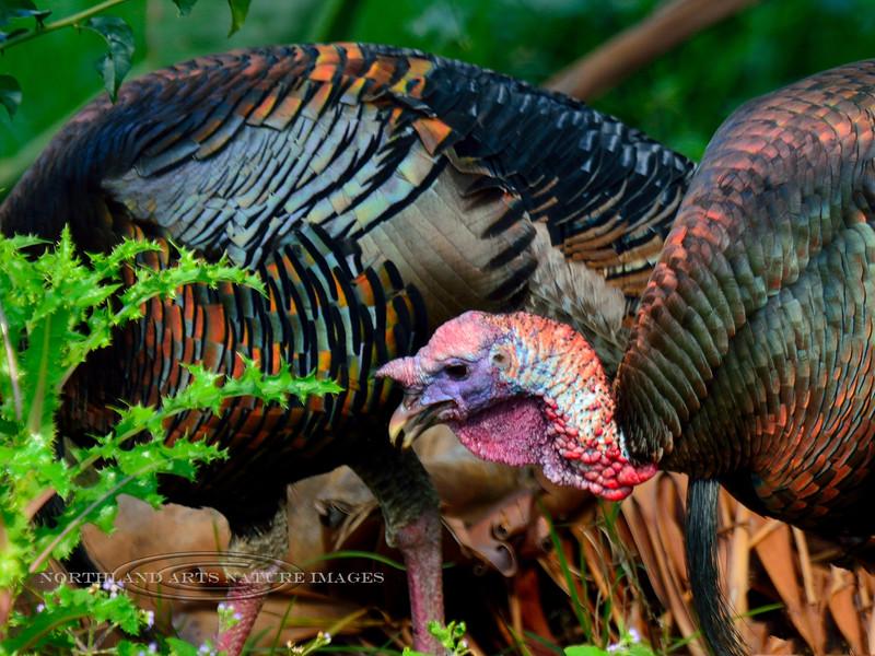 Turkey,Rio species. Route 190, Hawaii. #2.998.