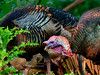 Turkey,Rio species. Route 190, Hawaii. #2.998. 3x4 ratio format.
