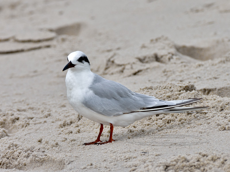 Tern, Forster's 2020.9.17#3897.3. 2nd Ave. Jetty, Cape May, New Jersey.