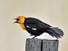 Blackbird, Yellow-headed. Rocky Mountains. #516.089. 3x4 ratio format.