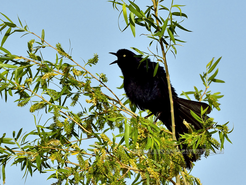 Grackle, Great-tailed. Yavapai County, Arizona. #59.119.