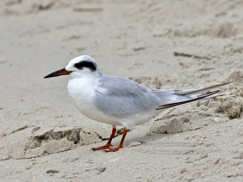 Tern, Forster's 2020.9.17#3953.3. 2nd Ave. Jetty, Cape May, New Jersey.
