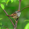 Sparrow, Swamp 2012.5.4. Wildcat, SGL, Bucks County Pennsylvania.