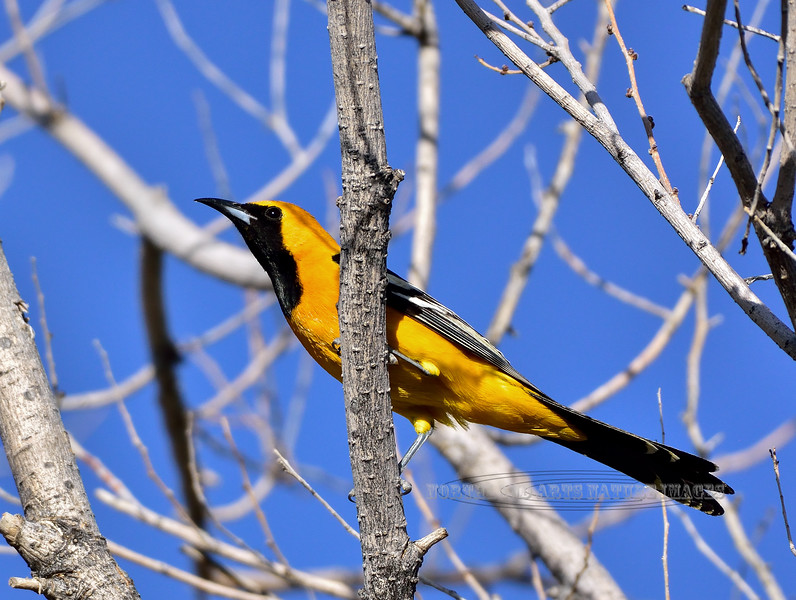 Oriole, Hooded 2018.4.12#2441. A really handsome male. Tombstone, Arizona.