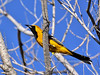 Oriole, Hooded. Tombstone, Arizona. #412.2441.