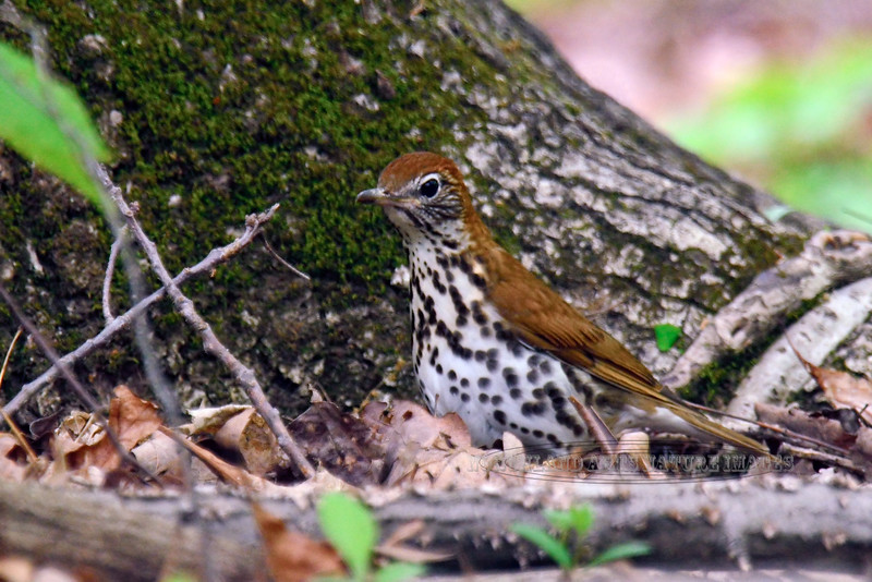 Thrush, Wood (Hylocichla mustelina). Busy searching for invertebrates in the leaf litter. Bucks Co., PA. #519.051. 2x3 ratio format.