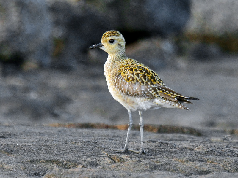 Plover, Pacific Golden 2015.2.2#538. Searching for invertebrates in cracks on beach lava. Kona coast, Hawaii.