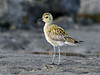 Plover, Pacific Golden. Searching for invertebrates in cracks on beach lava. Kona coast, Hawaii. #22.538. 3x4 ratio format.