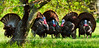 "Turkey, Eastern. Five ""Long Beards"". Penns Woods. #424.179. 1x2 ratio format."