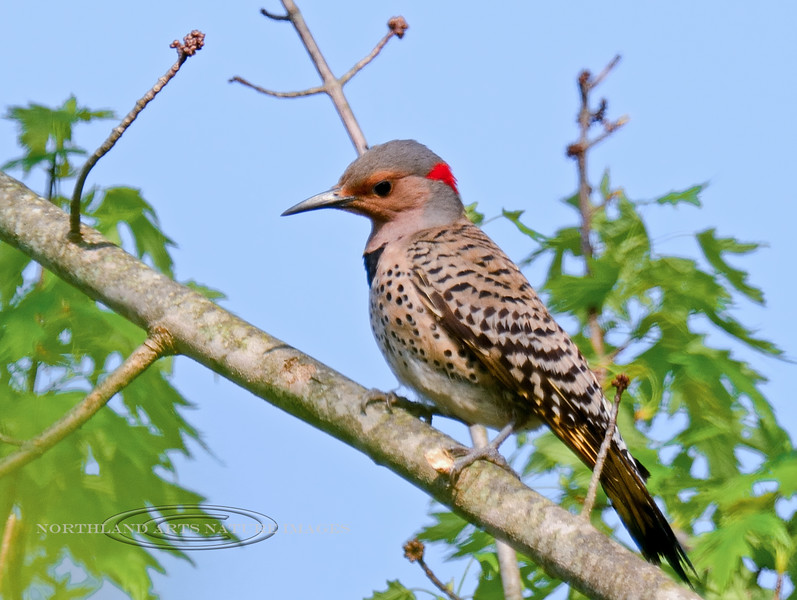 Flicker, Northern Yellow-shafted 2016.5.12#1385. a mature male. Near Uhlerstown on the Delaware River, Pennsylvania.