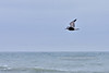 Gull, Herring 2020.9.18#4932.3. First year bird, flying over Stone Harbor Jetty, Cape May, New Jersey.