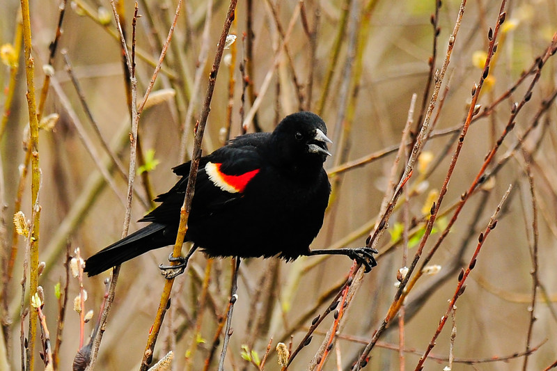 Blackbird, Red-winged. Chenanga County, New York. #52.150.