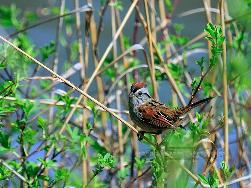Sparrow, Swamp 2008.4.21#092. Geigel Hill Road, Bucks County Pennsylvania.