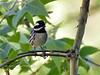 Warbler, Black-throated Gray 2019.4.30#1524. Santa Rita Mountains Arizona.