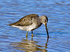 Dowitcher, Long-billed 2017.12.7#305. Gilbert, Maricopa County Arizona.