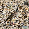 Chukar 2018.7.7#3047. Near Casper Wyoming.