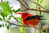 'I'iwi. An endangered endemic wet forest Honey Creeper. Hakalau Forest, Maina Kea, Hawaii. #23.1277. 2x3 ratio format.